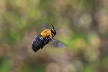 クマバチの画像 p1_15
