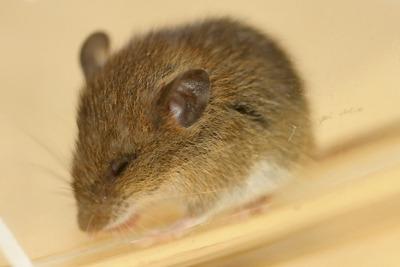 ヒメネズミの画像 p1_28