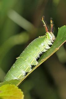 ゴマダラチョウ 幼虫